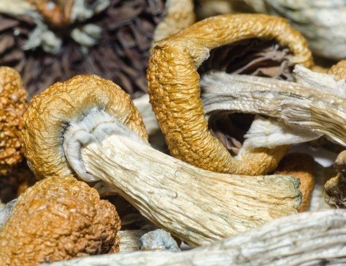 Photo: Psilocybin mushrooms.