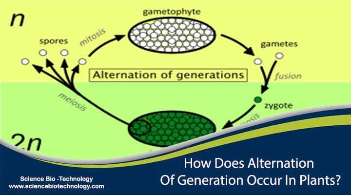 How Does Alternation Of Generation Occur In Plants Science Biotechnology Alternation Of Generations Plant Science Generation