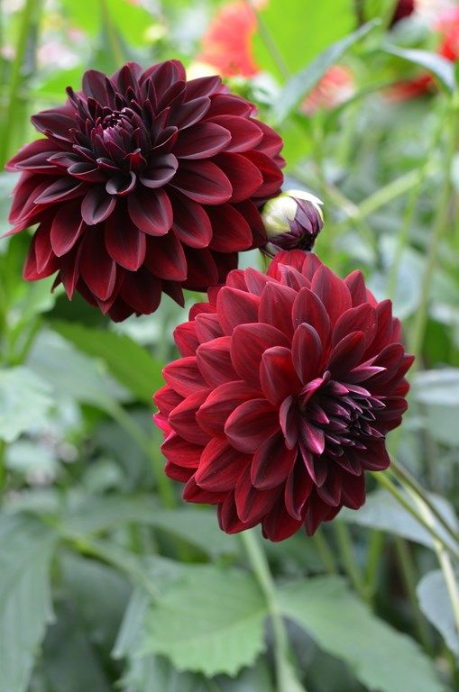 17 best images about dahlia on pinterest gardens white. Black Bedroom Furniture Sets. Home Design Ideas