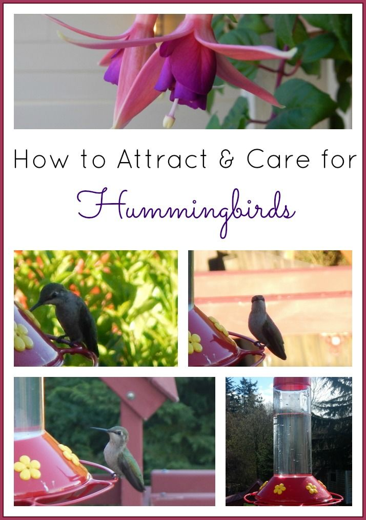 How to Attract & Care for Hummingbirds (Plants to Grow, Homemade Hummingbird Food) -- great project for kids. (water recipes for kids)