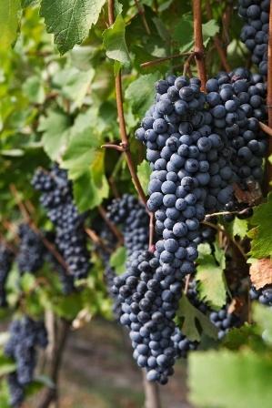 L'uva nera