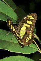 Mariposa de la familia Papilionidae.