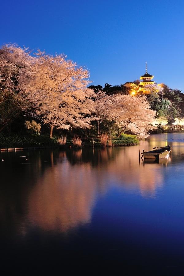 Cherry Blossom at Night, Sankeien, Yokohama, Kanazawa, Japan