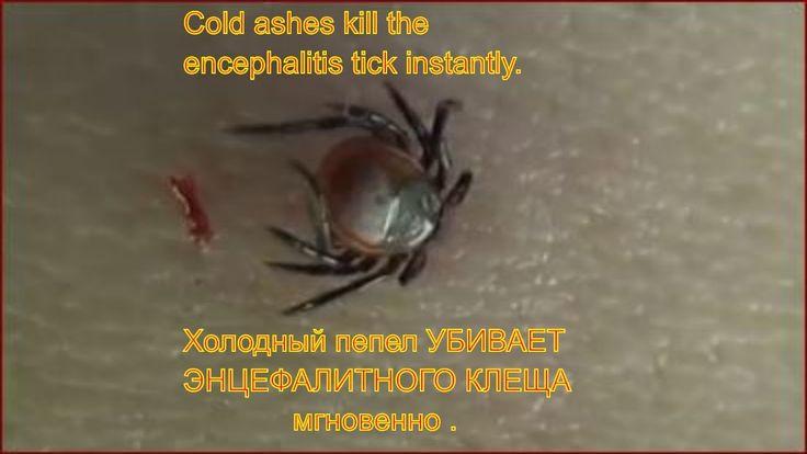 Холодный пепел убивает энцефалитного клеща мгновенно . Для профилактики ...