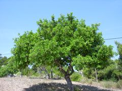 Ceratonia siliqua (Carob, St. john tree)- up to 50' in height, Nitrogen Fixing, edible fruit pods that substitute for Chocolate and can be made into liquer. E/Green. Wide soil PH, drought tolerant but ok w/ moist soil. Must have sun.  Need both Male & Female trees for seed!