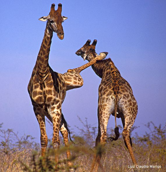 """Hey cut that out! You've been watching too many Bruce Lee movies again!"" #giraffe #kungfu <3"