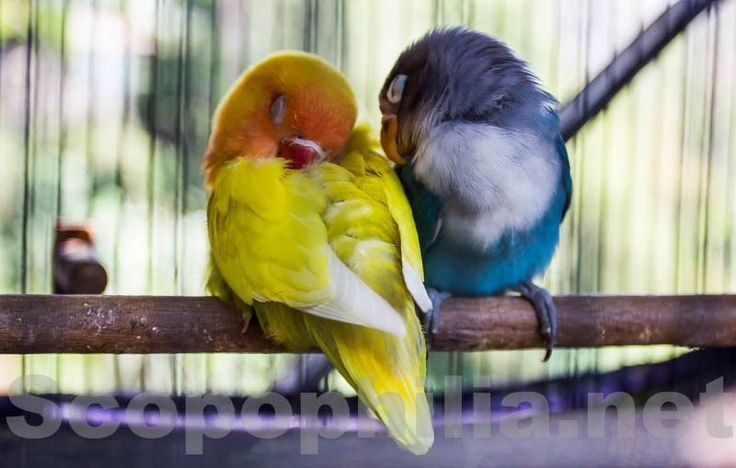 Love bird from Africa ...