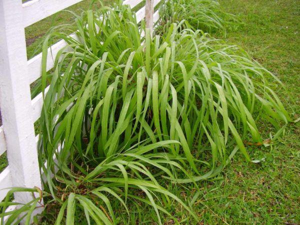 A citronela é uma planta aromática cujo óleo é bastante utilizado para a produção de repelentes naturais. Confira a seguir suas características e como cultivá-la. Nome botânico: Cymbopogon nardus (L.) Rendle Nome popular: citronela,...