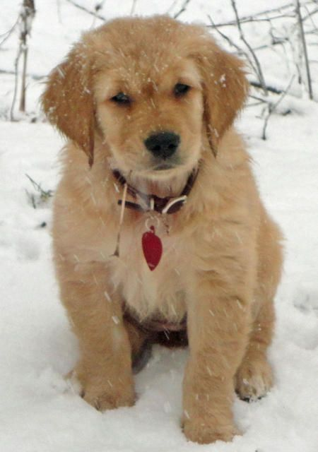 Golden retrievers are the cutest puppies