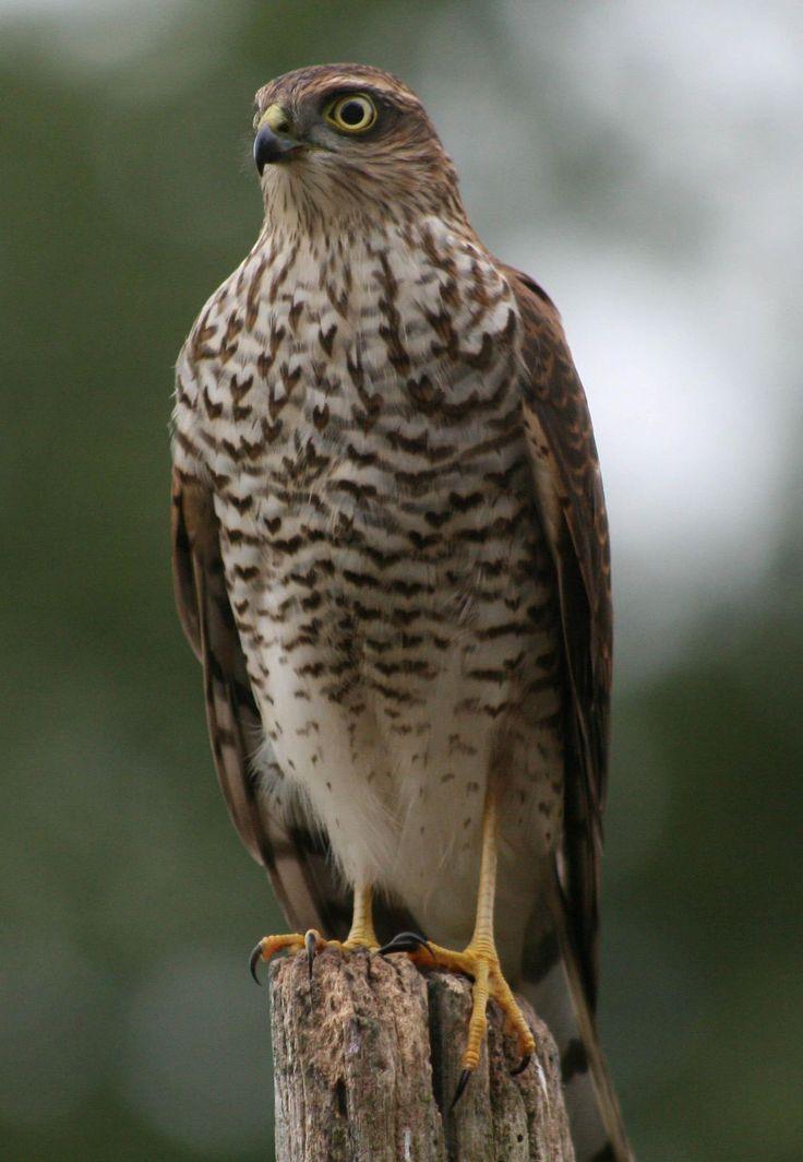 sparrow hawk bird of prey   Birds, Hawk bird, Birds of prey