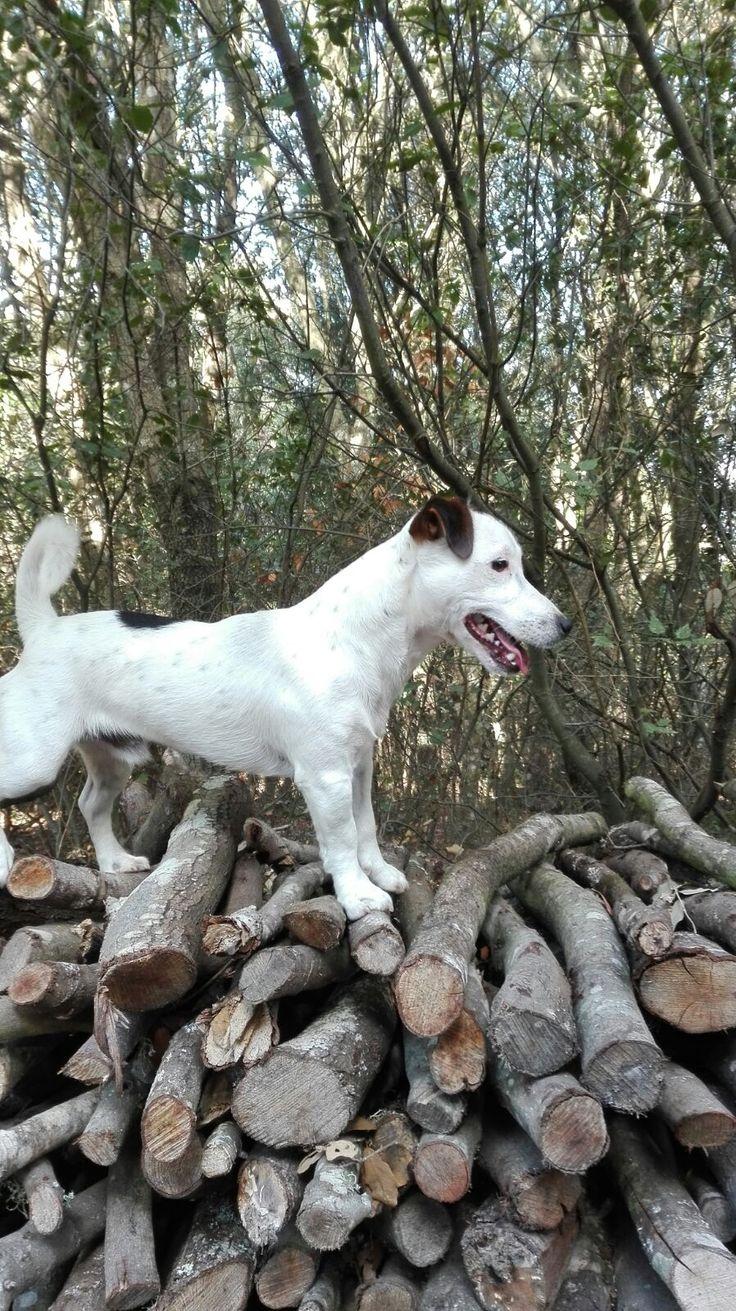 My jack russel terrier ❤️