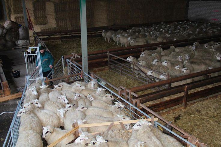 Die Wolle muss ab – Schafschur bei den ANTL-Schafen » Arbeitsgemeinschaft für…