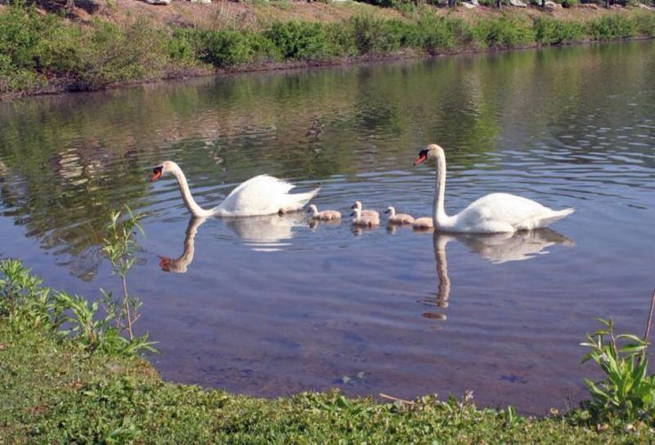 Baby swans Spring 2015