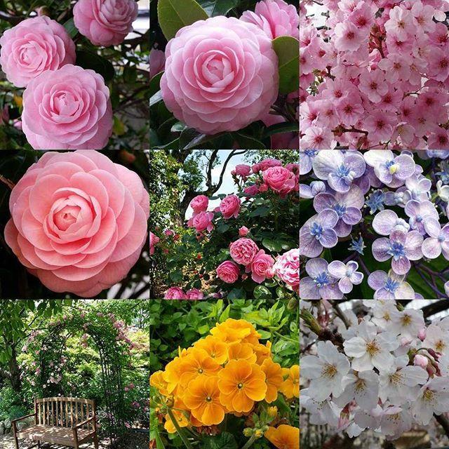 【michirinchan2】さんのInstagramをピンしています。 《今日は今年最後の日となりました✴ たくさんのいいね、コメントありがとうございました❤  ベスト9を見てみると大好きな乙女椿が3つも選ばれていました🌹✨ 来年も素敵なお花に出会いたいです🌼🌷🌻🌺🌹🌸 来年もよろしくお願いします🎵  佳いお年をお迎えくださいね🎍  #ベストナイン#大晦日#12月31日#2016#乙女椿#桜#アジサイ#お多福紫陽花#オタフクアジサイ#オトメツバキ#椿#花フレンド#花撮り人#花撮り隊#花好き#bestnine2016#flowers#flowerlove#flowerpic#flowertalking#ic_flowers#camellia#hydrangea#cherryblosom#instagram#instalike#instagood#2016bestnine#instagramjapan#otometsubaki》