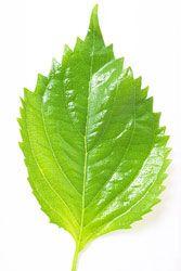 しそ(大葉)の保存方法 - 野菜の保存方法(冷蔵保存/冷凍保存)
