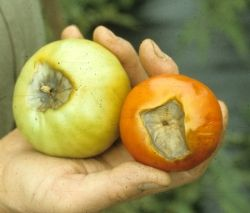 10 Common Tomato Plant Problems: Blossom end rot
