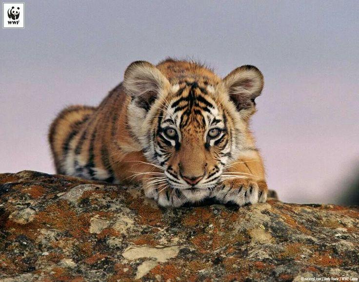 Tigerunge WWF