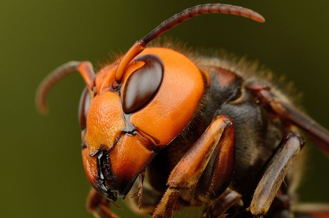 Japanese giant hornet オオスズメバチ | Flickr - Photo Sharing!  | Call A1 Bee Specialists! (248) 467-4849!  Call A1 Bee Specialists in Bloomfield Hills, MI today at (248) 467-4849 to schedule an appointment if you've got a stinging insect problem around your house or place of business! You can also visit www.a1beespecialists.com!