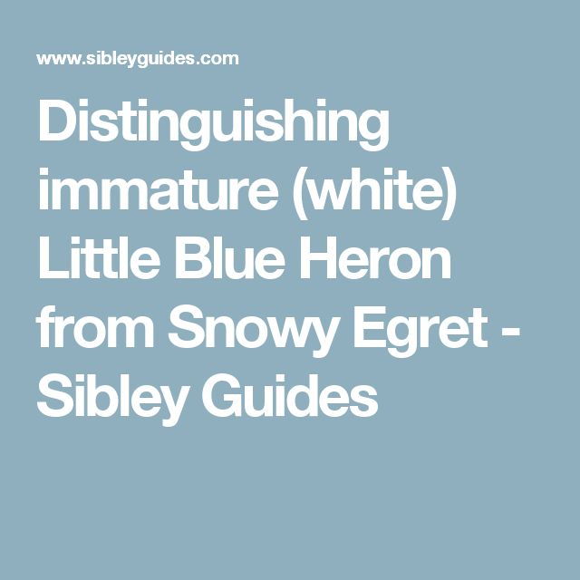 Distinguishing immature (white) Little Blue Heron from Snowy Egret - Sibley Guides