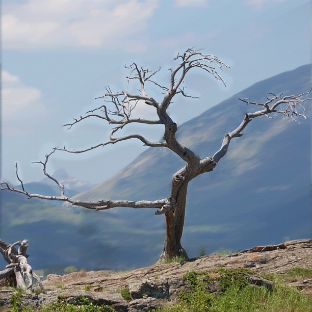 Stand strong in the winds of life. The Burmis tree, a 700 year old pine tree in the Crowsnest Pass, 200 km south of Calgary, Canada