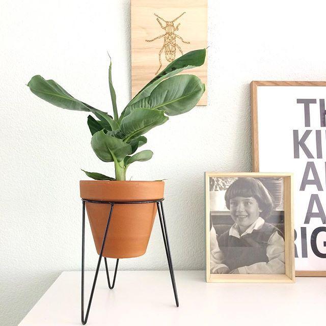B U D G E T T I P x2 - Bananenplant voor €2,99 bij @jumbo en plantenstandaard voor €1,99 bij @wibra_nl Daar word je toch blij van? Thanks @missjettle voor de tip! #bananenplant #plantenstandaard #budgettip #wibra #jumbo