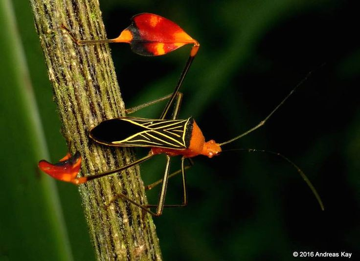 From the large family of sap-sucking insects known as Coreidae, this exuberant beauty photographed by Andreas Kay in Ecuador is a great example of why these critters are known as leaf-footed bugs. While those flags at the knees don't look particularly comfortable by our standards, for the leaf-footed bug they offer either fancy courting display or serve as a warning for predators to stay away. Either way, they look great!