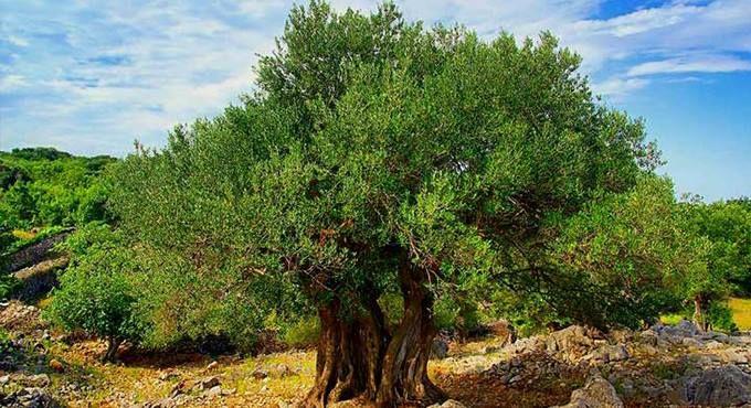 Ελιά – Πηγή υγείας & ζωής Σύμβολο της ευγένειας, της καλοσύνης, της δύναμης, της ομορφιάς και της ειρήνης ήδη από την αρχαιότητα. Ελιά, ο ευγενικός καρπός που μας χαρίζει ευζωία. Το καίριο συστατικό της μεσογειακής διατροφής από τα προϊστορικά χρόνια. Τόπος προέλευσης της είναι οι περιοχές της Συρίας και της Μικράς Ασίας. Ήδη από τη Μινωική εποχή καλλιεργείται στην Κρήτη. Ενώ στην Αθήνα εισάγεται από την Αίγυπτο από τον βασιλιά Κέκροπα.