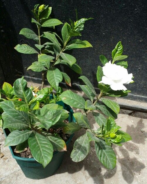 """""""Gardenia, Jazmín del Cabo - Gardenia jasminoides"""" - Nombre científico o latino: Gardenia jasminoides - Sinónimo: Gardenia augusta - Nombre común o vulgar: Gardenia, Jazmín del Cabo. - Familia: Rubiaceae. -"""