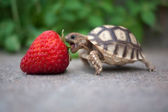 Tiny turtle about to eat a strawberry 5 times bigger than its head - 22 Words
