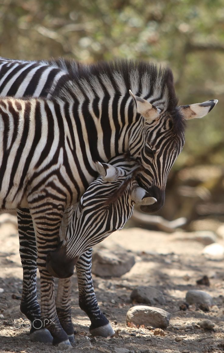 Zebra Bonding - Taken at Safari West, Santa Rosa California from a Jeep Safari