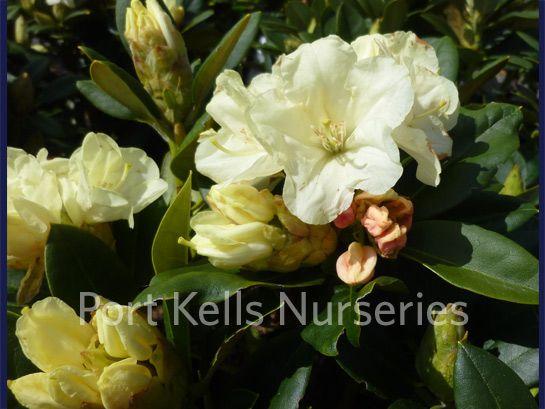 Rhododendron 'Lemon Dream'