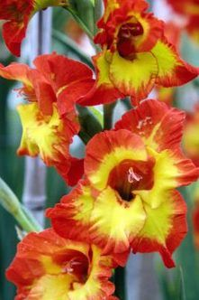 Does Gladiolus Flower More Than Once Per Season? | Home Guides | SF Gate