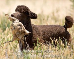 Autumn Hill Poodles, WI. See! They are not just a girls dog! Awesome, love a working poodle!
