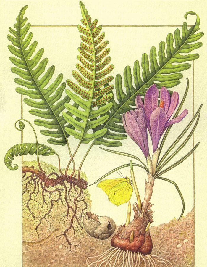 Rizoma di Polypodium vulgare, Bulbo di Croco e Cedronella (Europa)