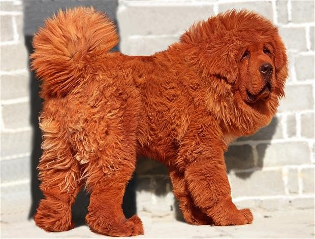 Red Tibetan Mastiff -- world's most expensive dog.  Sold for over 1million pounds.  True story...