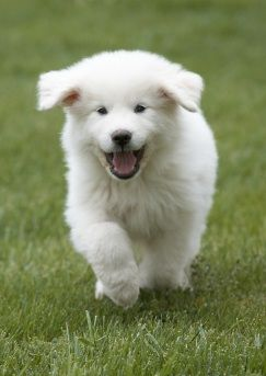 great pyrenees - someday when I have a yard. :)