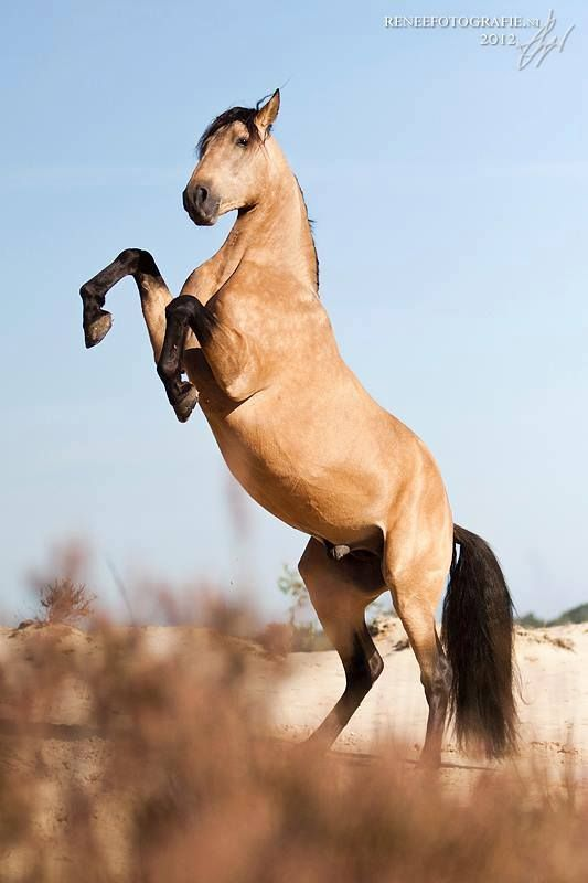 17 Best images about BUCKSKIN HORSES on Pinterest ...