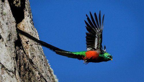 """A incrível ave Quetzal-Resplandecente, espécie Pharomachrus mocinno, é conhecida como a """"serpente de penas"""". O apelido se dá pelo fato de que sua cauda pode atingir até 60 cm de comprimento."""
