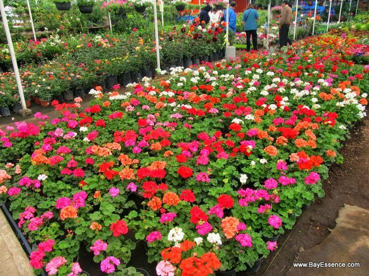 Beds of Flowers   Xochimilco's Floating Gardens   www.bayessence.com