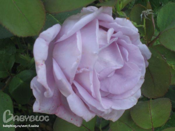 Выращивание роз - Сообщество «Сад, огород» / Сад и огород