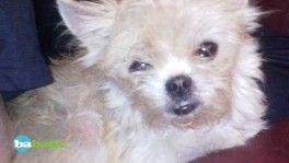 Chihuahua croisé bichon