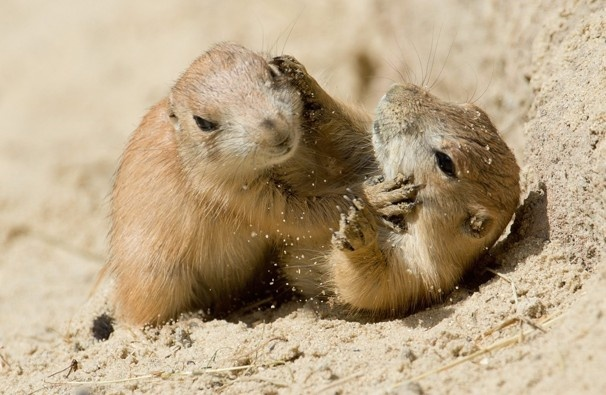 So that's what Prairie Dogs look like [Photo: Julian Stratenschulte]