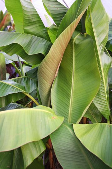 "Musa Burmese Blue,buy Banana Tree for sale,Plants on-line-Plant Delights Nursery, Inc.Zone 7b-10, guessing	  Height 216""	  Culture Sun to Part Sun	  Origin China, Burma, Thailand"