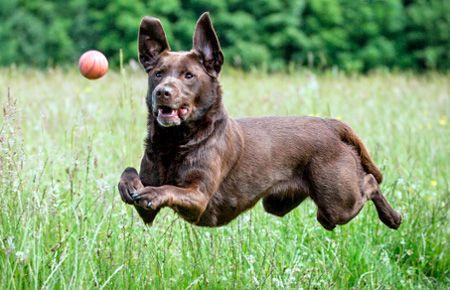 perro cogiendo una pelota
