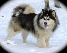 Malamute - As 10 raças de cachorros mais perigosas do mundo