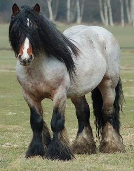 Beautiful Brabant Horse