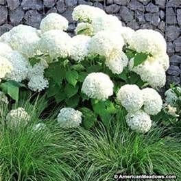 Annabelle or Phantom Hydrangea with ornamental grass~