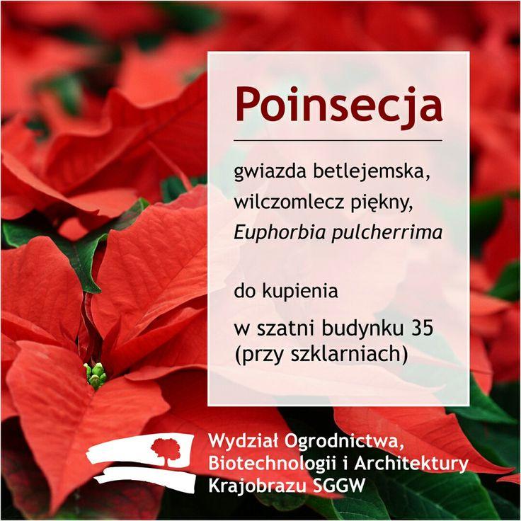 #poinsecja (#Euphorbia pulcherrima) do kupienia w szklarni #budynek35 #wobiak #SGGW  This lovely #poinsettia (#Euphorbia pulcherrima) you can buy in our #greenhouse #building35 #WULS