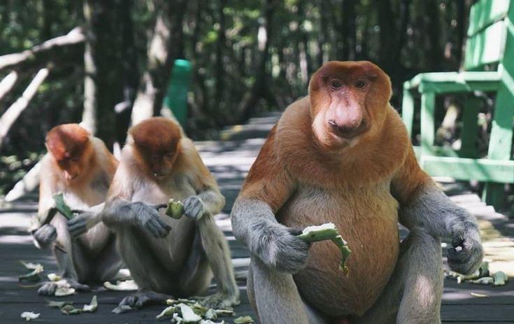 Paling Populer 17 Gambar Monyet Sedih Monyet Dukun Wajah Sedih Monyet Memiliki Warna Coklat Maupun Hitam Bekantan Monyet Unik Hid Lucu Mamalia Mengerikan