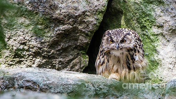 Eurasian eagle-owl (Bubo bubo). The American (North and South America) horned owls and the Old World eagle-owls make up the genus Bubo.